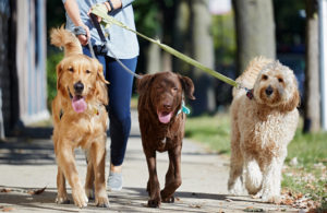 Image of dogs being walked